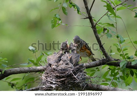 Gray-backed Thrush is feeding the juvenile birds in the nest. Royalty-Free Stock Photo #1991896997
