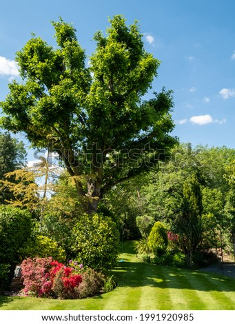 London UK. June 2021. Suburban, well stocked garden with neatly mown striped lawn, tall oak tree, colourful azalias and a wide variety of other trees, shrubs and flowers.