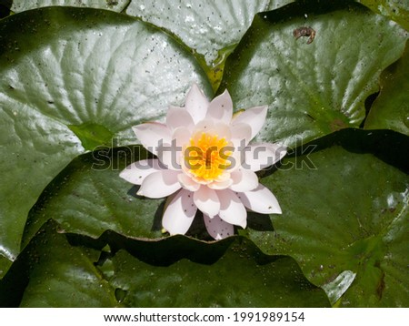 This is a picture of a lotus flower blooming in a pond. You can see the gorgeous white lotus petals.