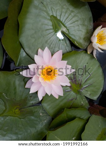 This is a picture of a lotus flower blooming in a pond. You can see the gorgeous white lotus petals. You can also see bees buried in lotus petals.