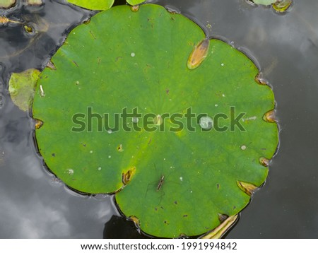 This is a picture of a lotus leaf. You can see the water droplets on the lotus leaf. And you can also see the water strider.