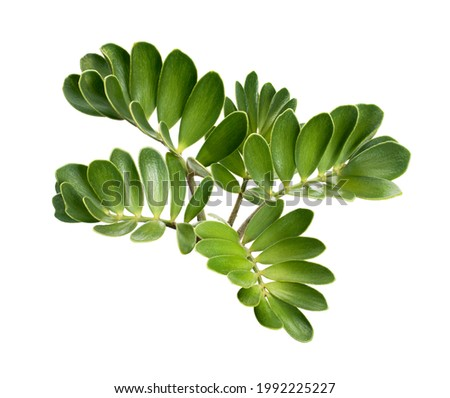 Cardboard palm or Zamia furfuracea or Mexican cycad leaf, Tropical foliage isolated on white background, with clipping path                             Royalty-Free Stock Photo #1992225227