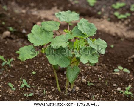 Okra seedlings planted in the field