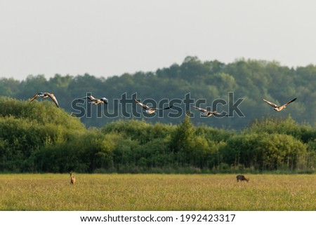 Greylag goose birds (Anser anser) and roe deer (Capreolus capreolus) on the hotyronta, several species of animals in one meadow