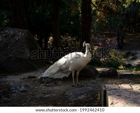 White Peacock, that lives free and wild in the plaka forest in Kos - Greece - Greek Islands.