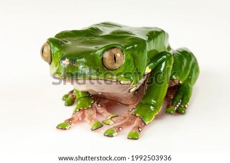 A giant monkey frog on white background  Royalty-Free Stock Photo #1992503936