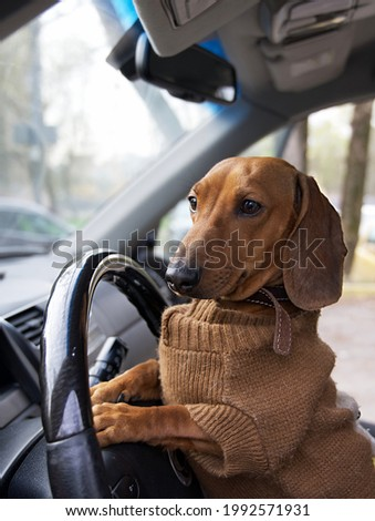 A red-haired dachshund dog in warm clothes sits at the wheel in a car with an open side door. Photo of a dog posing while sitting in a car while driving.
