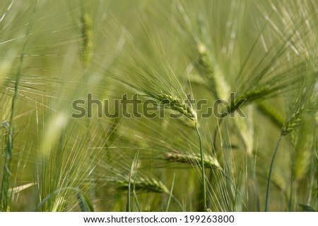 yellow ripe wheat field #199263800