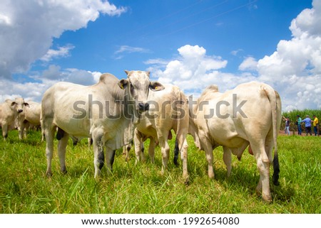 beautiful herd of bulls of the Nellore breed in the open-air pasture of a farm Royalty-Free Stock Photo #1992654080