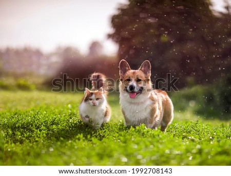 furry friends red cat and corgi dog walking in a summer meadow under the drops of warm rain Royalty-Free Stock Photo #1992708143