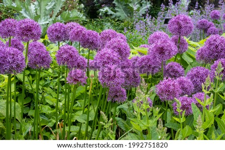 Allium giganteum flower heads, also called a giant onion Allium. The flowers bloom in the early summer and make an architectural statement in the garden. Royalty-Free Stock Photo #1992751820