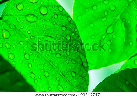 The raindrops on the green leaves after the fresh rain are beautiful and refreshing. Royalty-Free Stock Photo #1993127171