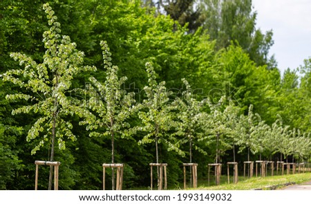 Alley of young trees neatly planted and tied to pegs in a city park. Young linden trees planted in a row in the park. Young trees with protective support. Newly created alley of lindens in the park Royalty-Free Stock Photo #1993149032