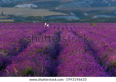 Lavender field at sunset. Blurry abstract background with people taking pictures. Purple rows of lavender. Atmospheric summer landscape. Growing lavender bushes for cosmetics and medicine. Copy space