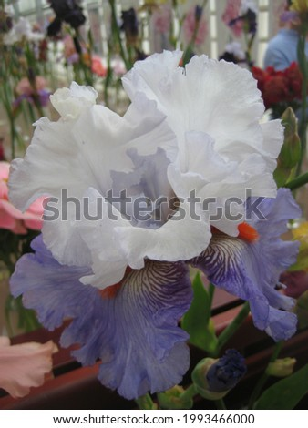 macro photo with a decorative background of a beautiful variegated flower of a bulbous iris plant for landscaping and garden landscaping as a source for prints, posters, advertising, wallpaper