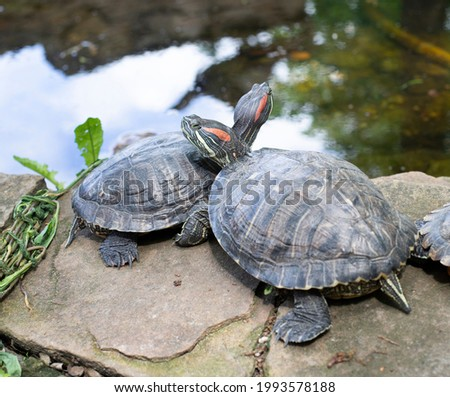 Two turtles in love are resting near the water. Nature, sea turtle. Animals Royalty-Free Stock Photo #1993578188