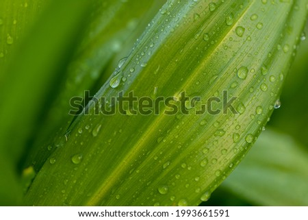Wide green leaves with raindrops on a green blurred natural background. Green leaves with raindrops. Royalty-Free Stock Photo #1993661591