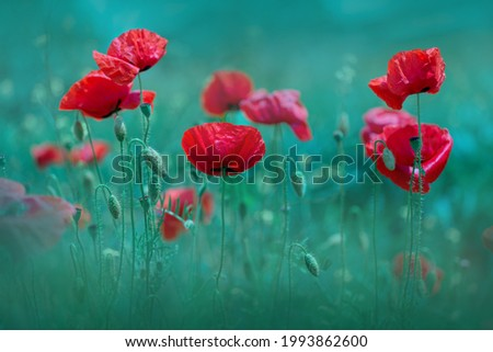 Poppy flowers. Spring-summer banner with poppies Soft focus image of wild meadow poppies against emerald-green grass. Cool banner for remembrance sunday.