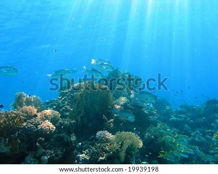 Shoal of big-eye emperor on the reef #19939198