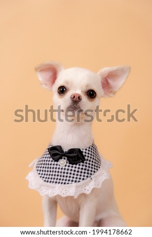 The dog Chihuahua, is wearing a bow tie and taking a picture with a brown background