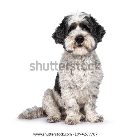 Cute little mixed breed Boomer dog, sitting up facing front. Looking towards camera with friendly brown eyes. Isolated on white background. Mouth closed. Royalty-Free Stock Photo #1994269787