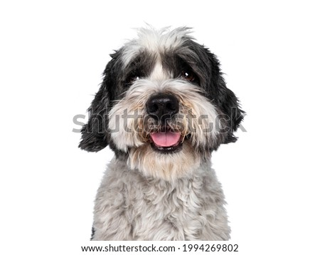 Head shot of cute little mixed breed Boomer dog, sitting up facing front. Looking straight to camera with friendly brown eyes. Isolated on white background. Mouth slightly open, showing tongue, Royalty-Free Stock Photo #1994269802