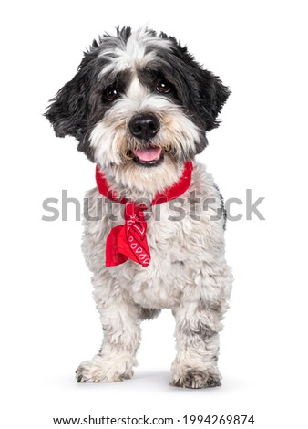 Adorable little mixed breed Boomer dog, standing facing front wearing red scarf around neck. Looking straight to camera with friendly brown eyes. Isolated on white background. Mouth open tongue out. Royalty-Free Stock Photo #1994269874