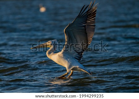 White pelican from the Danube delta with open wings Royalty-Free Stock Photo #1994299235