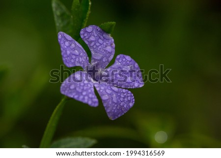 Purple vinca flower with raindrops on petals in spring day macro photography. Blossom periwinkle flower violet petals in springtime close-up photo. Royalty-Free Stock Photo #1994316569