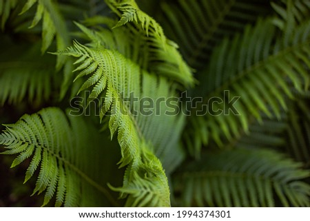 Beautiful fern leaf texture in nature. Natural ferns background Fern leaves Close up ferns nature. Fern plants in forest Background of the ferns Nature concept. Green ferns nature. Natural floral fern Royalty-Free Stock Photo #1994374301