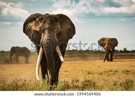 Big tusker elephant that wonders across african savanna plains of the Kruger NP Royalty-Free Stock Photo #1994569406