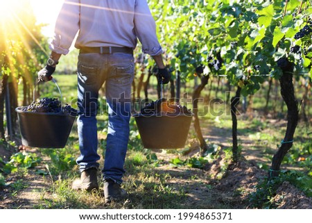 Grape harvest: Hand harvest of Pinot Noir and Pinot Gris grapes Royalty-Free Stock Photo #1994865371