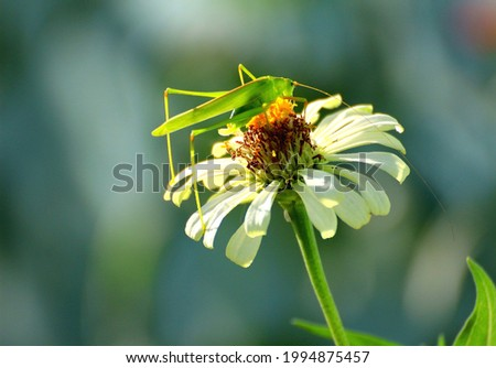 A green grasshopper perched on a white flower It's a beautiful picture of nature