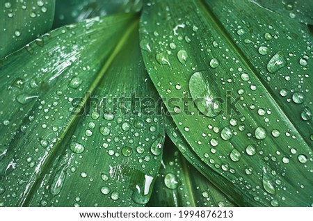 green lily of the valley leaves with raindrops Royalty-Free Stock Photo #1994876213