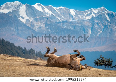 A pony relaxing and unwinding after a long trek with all the supplies, Brahmatal trek during winter in Uttarakhand India Royalty-Free Stock Photo #1995213374