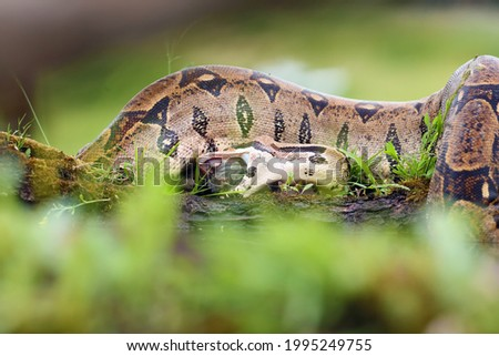 The boa constrictor (Boa constrictor), also called the red-tailed or the common boa, with prey caught on an old branch. Big boa with a caught rat by the water. Royalty-Free Stock Photo #1995249755