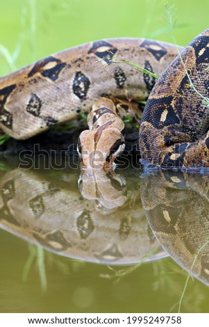 The boa constrictor (Boa constrictor), also called the red-tailed or the common boa drinks from a dark turbid pool. Royalty-Free Stock Photo #1995249758