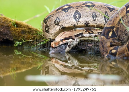 The boa constrictor (Boa constrictor), also called the red-tailed or the common boa, with prey caught on an old branch. Big boa with a caught rat by the water. Royalty-Free Stock Photo #1995249761