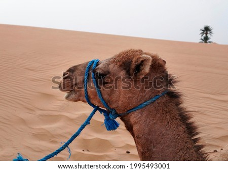 Camel ride at Erg Chebbi, Morocco Royalty-Free Stock Photo #1995493001