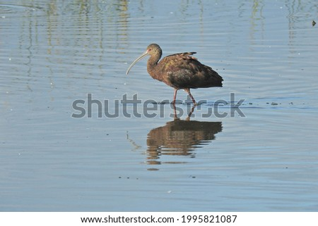 A glossy ibis wading in the shallows in search of aquatic vertebrates, at the Merced National Wildlife Refuge, in the San Joaquin Valley, California. Royalty-Free Stock Photo #1995821087
