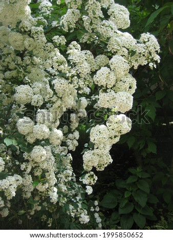macro photo with a decorative background of white flowers on the branches of a flowering shrub for garden landscape design as a source for prints, posters, decor, decoration, wallpaper, interiors