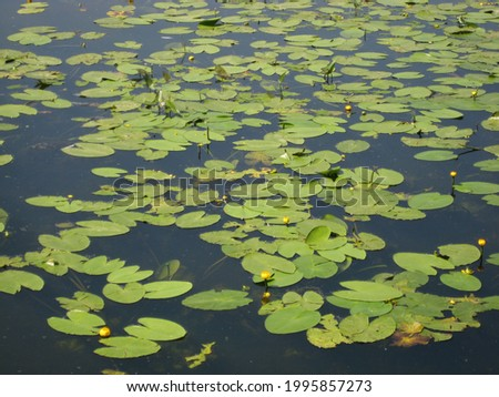 macro photo with a decorative background of summer blooming water lilies for garden landscaping and landscaping as a source for prints, posters, decor, interiors, wallpaper, advertising, decoration