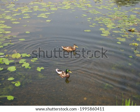 macro photo with decorative background of wild birds ducks on the water of river water in green grass and leaves of water lilies for landscape design as a source for prints, posters, decor, interiors,