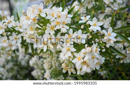 Choisya shrub with delicate small white flowers on green foliage background. Mexican Mock Orange evergreen shrub. Royalty-Free Stock Photo #1995983105