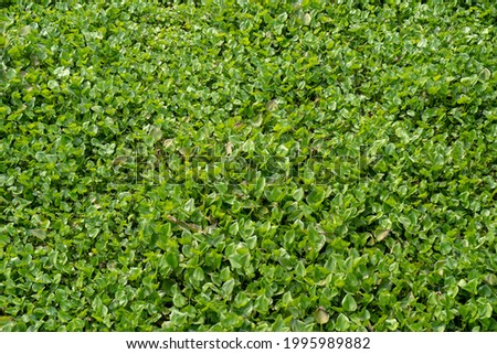 The Water Hyacinth is covering all the river and obstructing water flow. That is the one of water pollution. Royalty-Free Stock Photo #1995989882