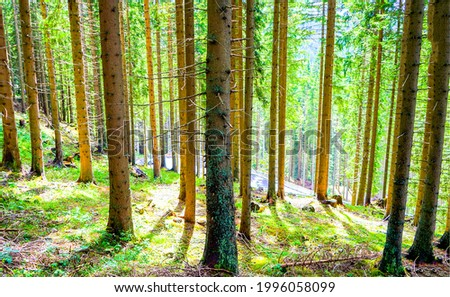 Pine trunks in a sunny pine forest. Pinewood trees in forest. Forest pines. Pine tree forest view Royalty-Free Stock Photo #1996058099