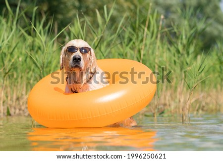 A dog in sunglasses and an inflatable ring sits on the bank of the river. Funny summer photo with a pet. Golden Retriever swims in the lake with an inflatable ring.