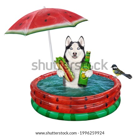 A dog husky with a hot dog and beer is sitting in a watermelon inflatable pool. White background. Isolated.