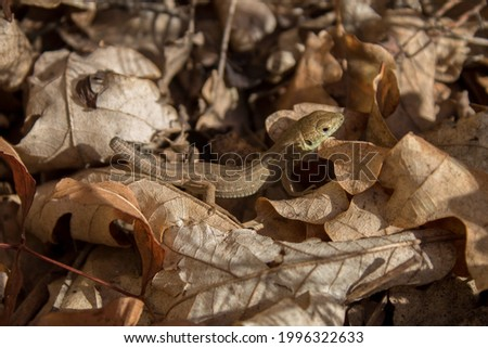 Viviparous lizard (Zootoca Vivipara), or common lizard without tail staying in dried leaves. Sunbathing lizard in fallen autumn leaves. Small animal in his natural habitat. Camouflage animal. Royalty-Free Stock Photo #1996322633