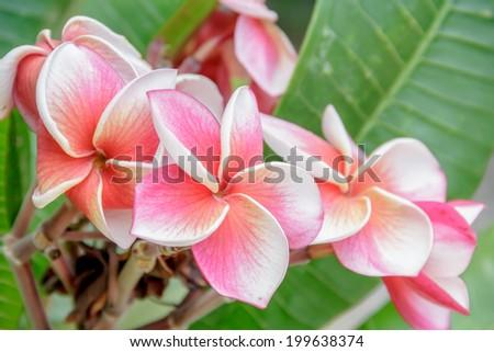 pink flowers frangipani (plumeria) on green leaf background #199638374